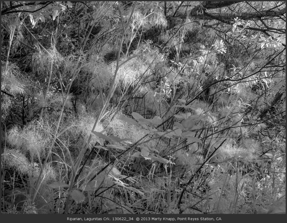 Riparian, Lagunitas Crk. 130622_34