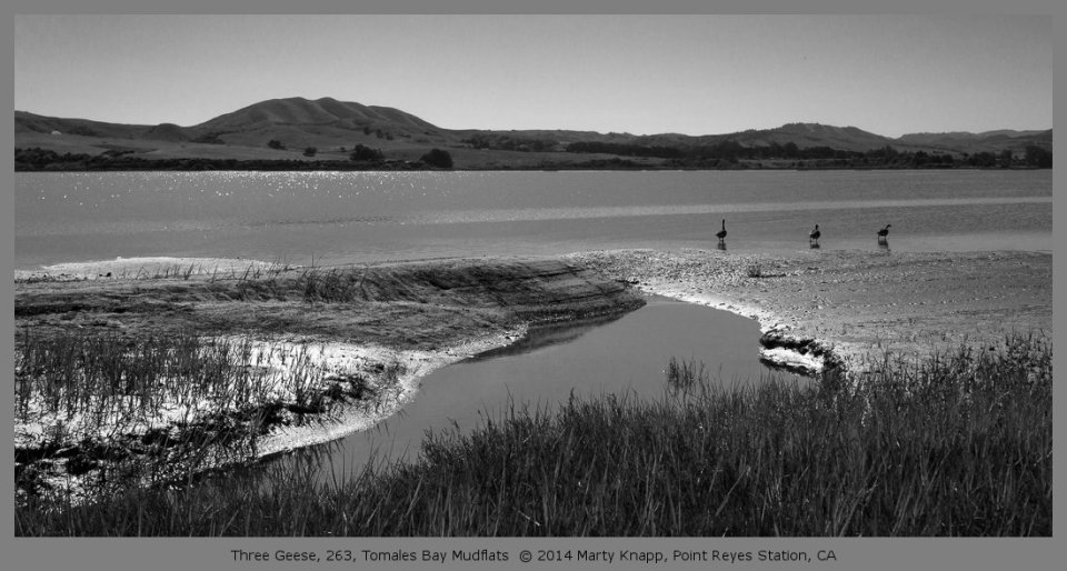 Three Geese, 263, Tomales Bay Mudflats